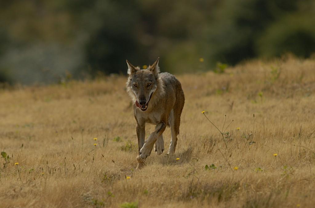 luigi ziotti - lupo