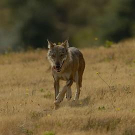 Lupi a Mezzano Scotti: in due anni sbranati 200 animali in provincia