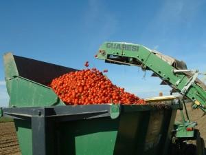 lavorazione pomodoro