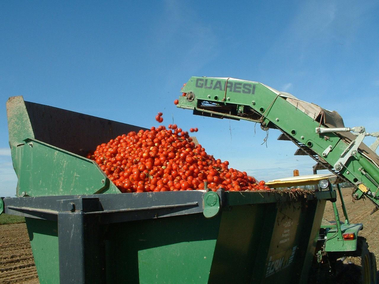 Pomodoro, raccolta solo metà del prodotto rispetto al 2012. Calo del 40%