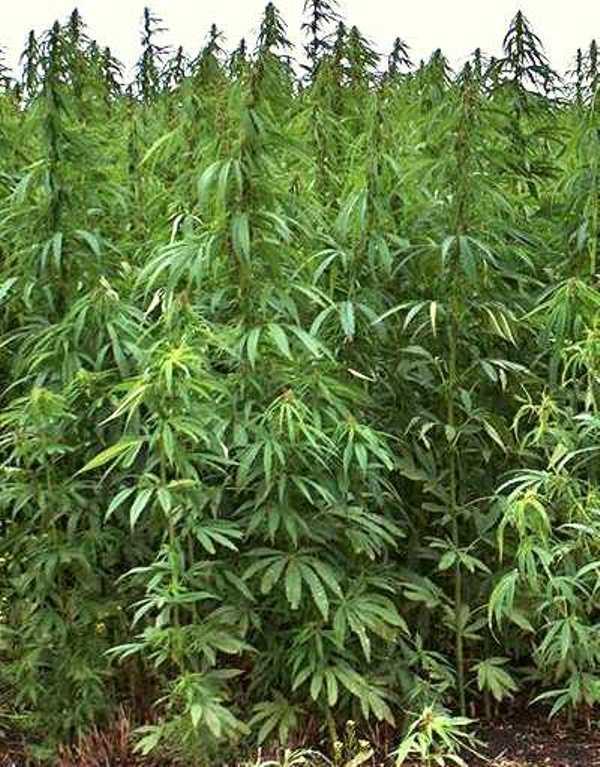 """""""Cannabis pianta della vita"""", contro-convegno dopo le polemiche"""