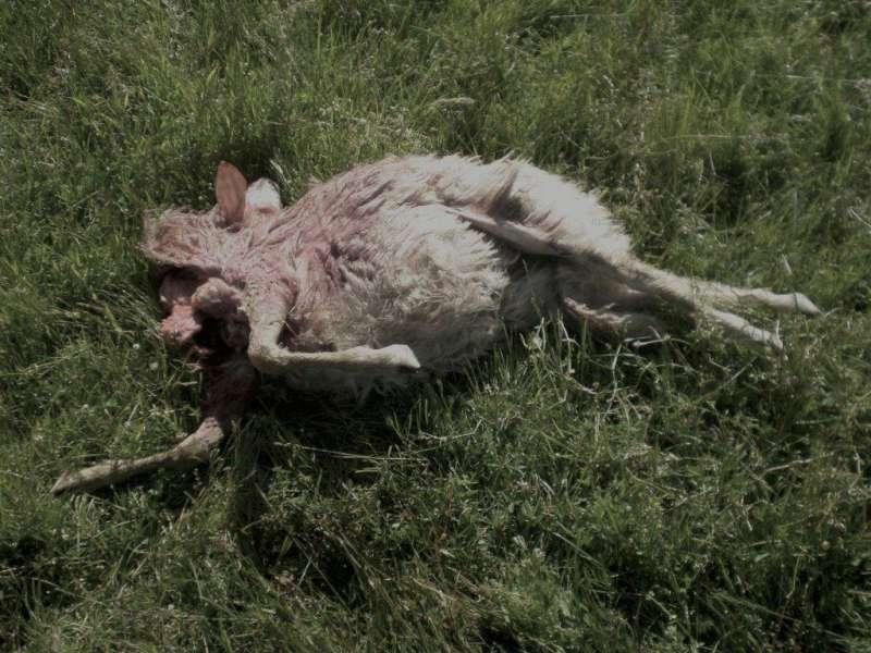 Pecore sbranate dai lupi a Vernasca (7)
