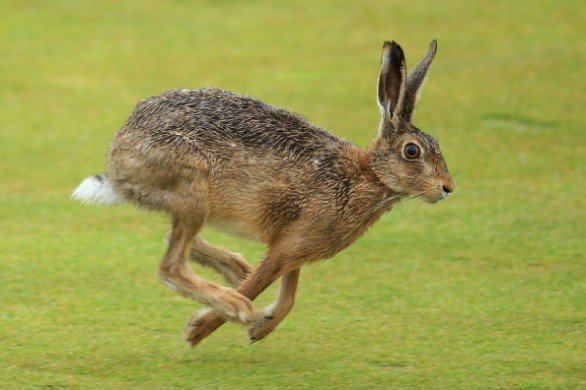 Nuovo calendario venatorio: torna la caccia alla starna, limiti sulle lepri