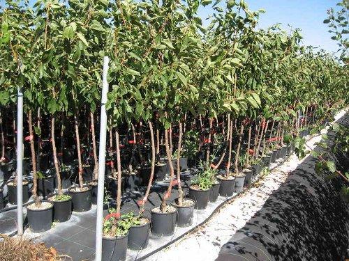 Dr riccardo frontini sicurezza dell 39 albero 2 la qualit for Vivaio alberi