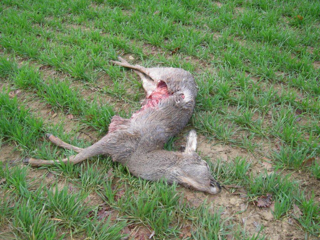 Gropparello un testimone il capriolo morto era nel for Capriolo animale
