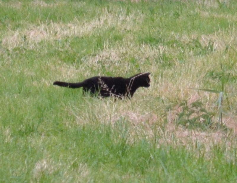 gatto nero scambiato per pantera