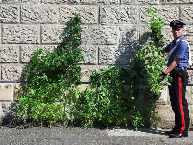 Piante di marijuana a Bettola (1)-800