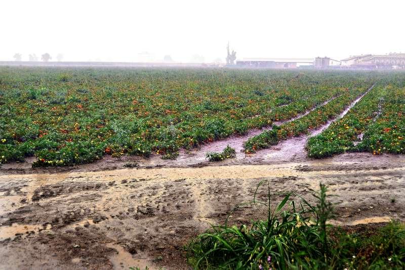 Allagamenti e danni al pomodoro, il nubifragio non ha portato benefici. L'emergenza rimane