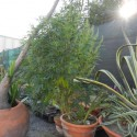 Coltiva marijuana in giardino, denunciato 54enne piacentino