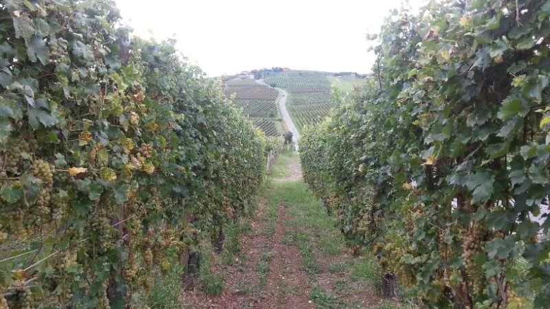 Vendemmia, vigne (5)-800