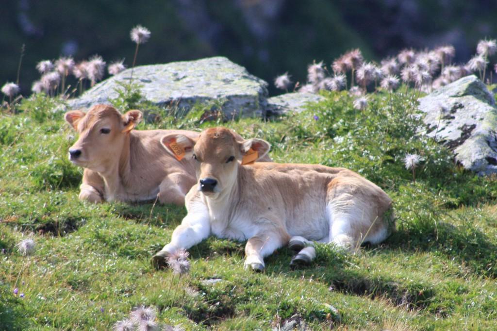 agricoltura - vitelli da latte
