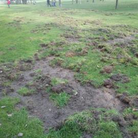 Branchi di cinghiali all'assalto, campo da golf devastato