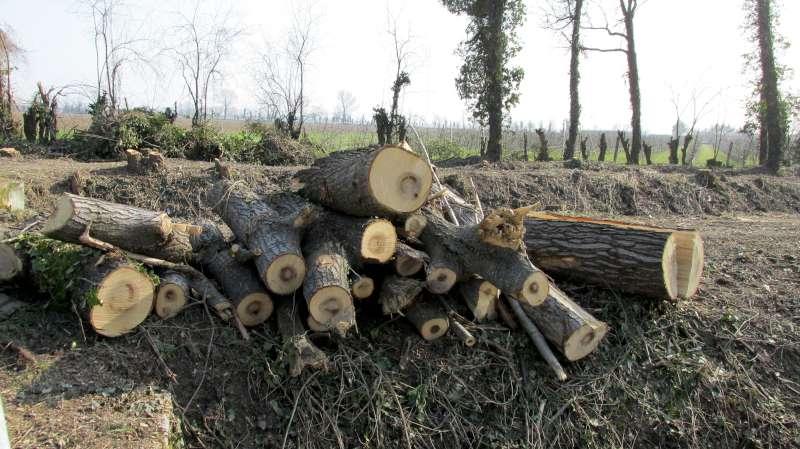 alberi tagliati (2)-800