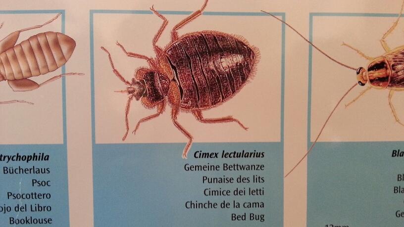 Punture d'insetto: in forte aumento a Piacenza le cimici dei letti