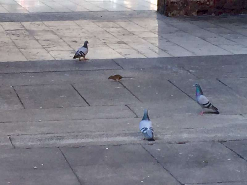 Topi in Piazza Cavalli-800