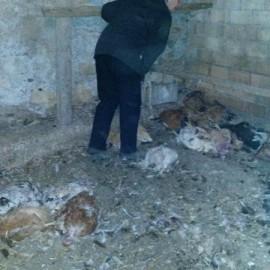 Volpe scatenata a Vernasca: uccisi 50 galline e tre tacchini