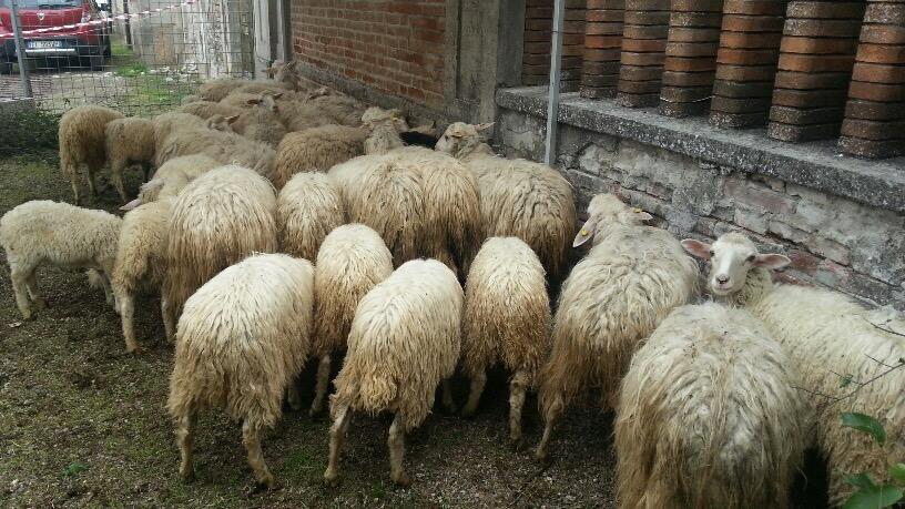 La sardegna a gariga formaggi cani pastore e gara di - La pagina della colorazione delle pecore smarrite ...