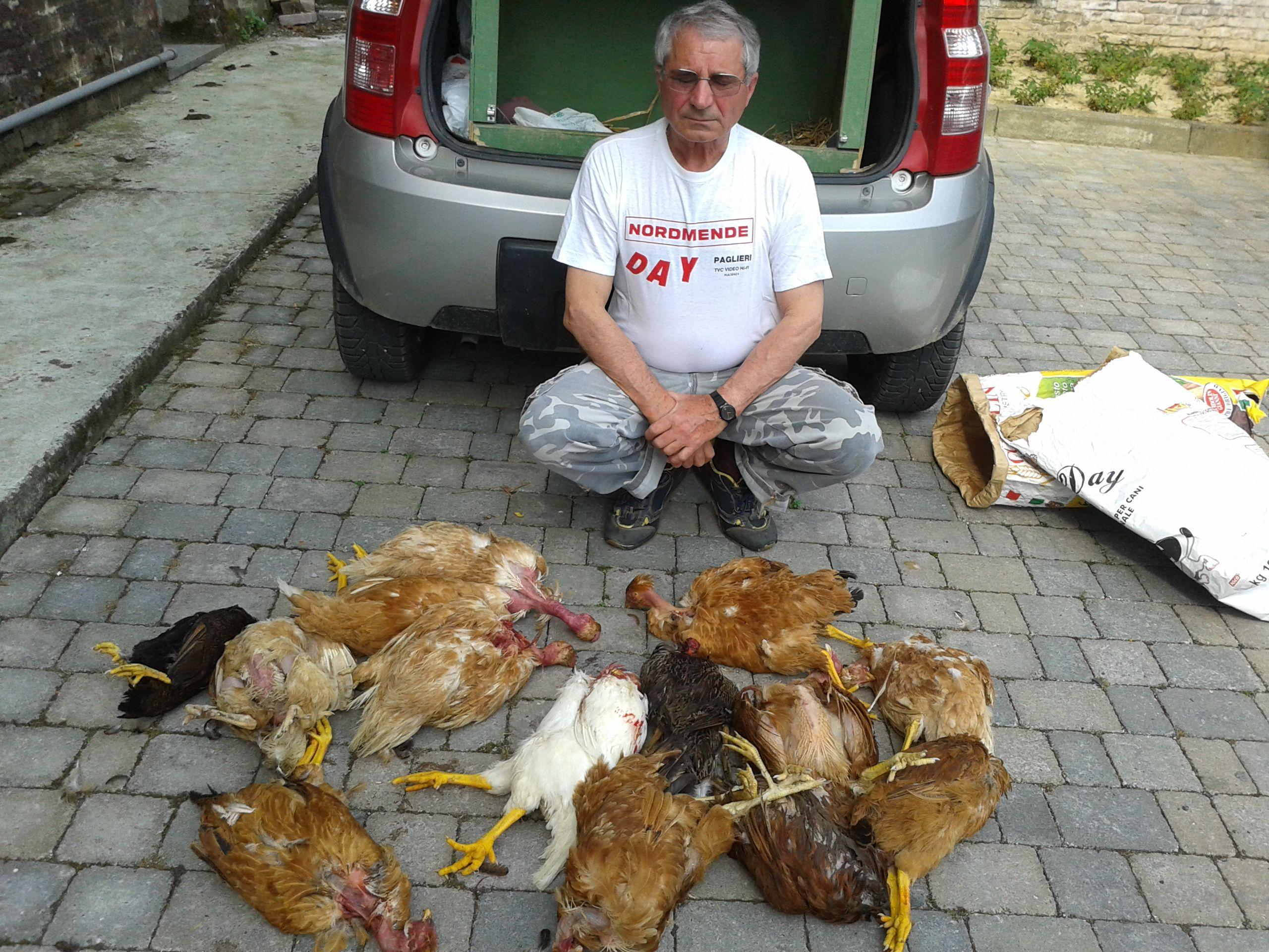 Nuovo raid della volpe nel pollaio a sarmato uccise 15 for Costruire un pollaio con i pallet