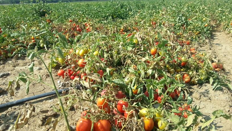 campagna del pomodoro e siccità
