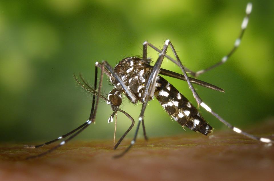 zanzara tigre2