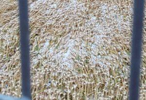 Maltempo nel Piacentino: campi devastati dalla grandine. Foto e Video