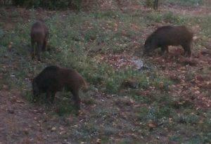 Colazione con i cinghiali: viticoltore si sveglia e ne trova tre in giardino