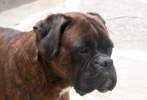 Cani senza microchip, verifiche in Valtidone e in Valluretta