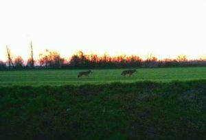 """Castellarquato, l'allarme: """"Lupi in un campo a poca distanza dalle case"""" FOTO"""