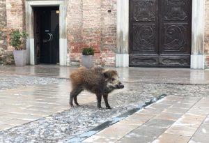 Bobbio, cucciolo di cinghiale passeggia in piazza Duomo. VIDEO