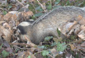 Tasso investito a Bassano recuperato dal Wildlife Rescue Center. Il video