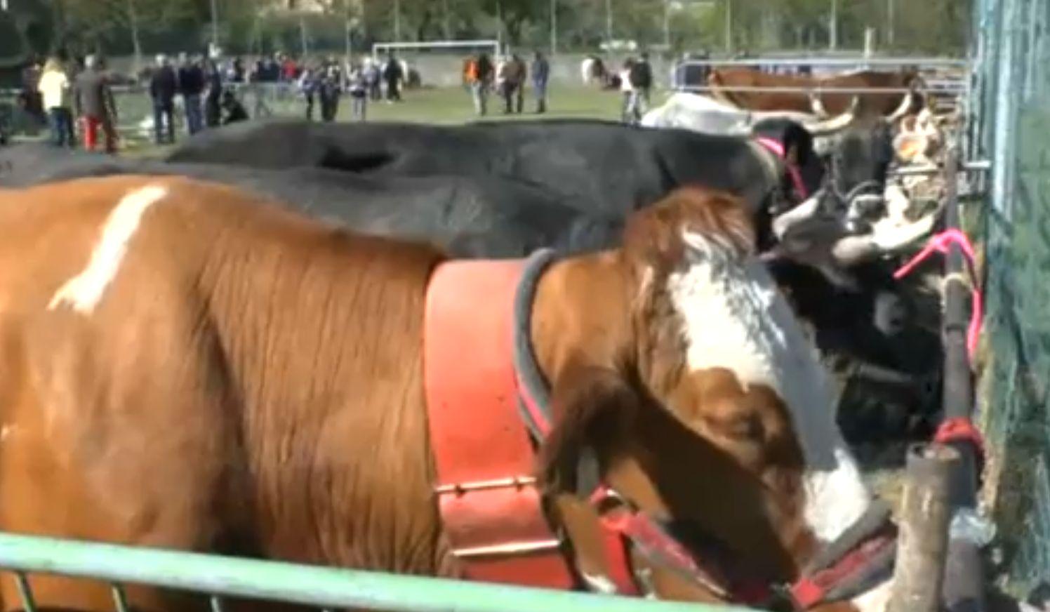 """Ottone, torna la fiera del bestiame dopo 40 anni. """"No all'abbandono"""""""