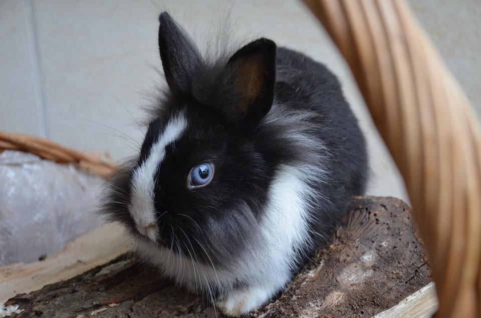 Coniglietto sventa furto: il ladro scoperto si lancia dal terzo piano