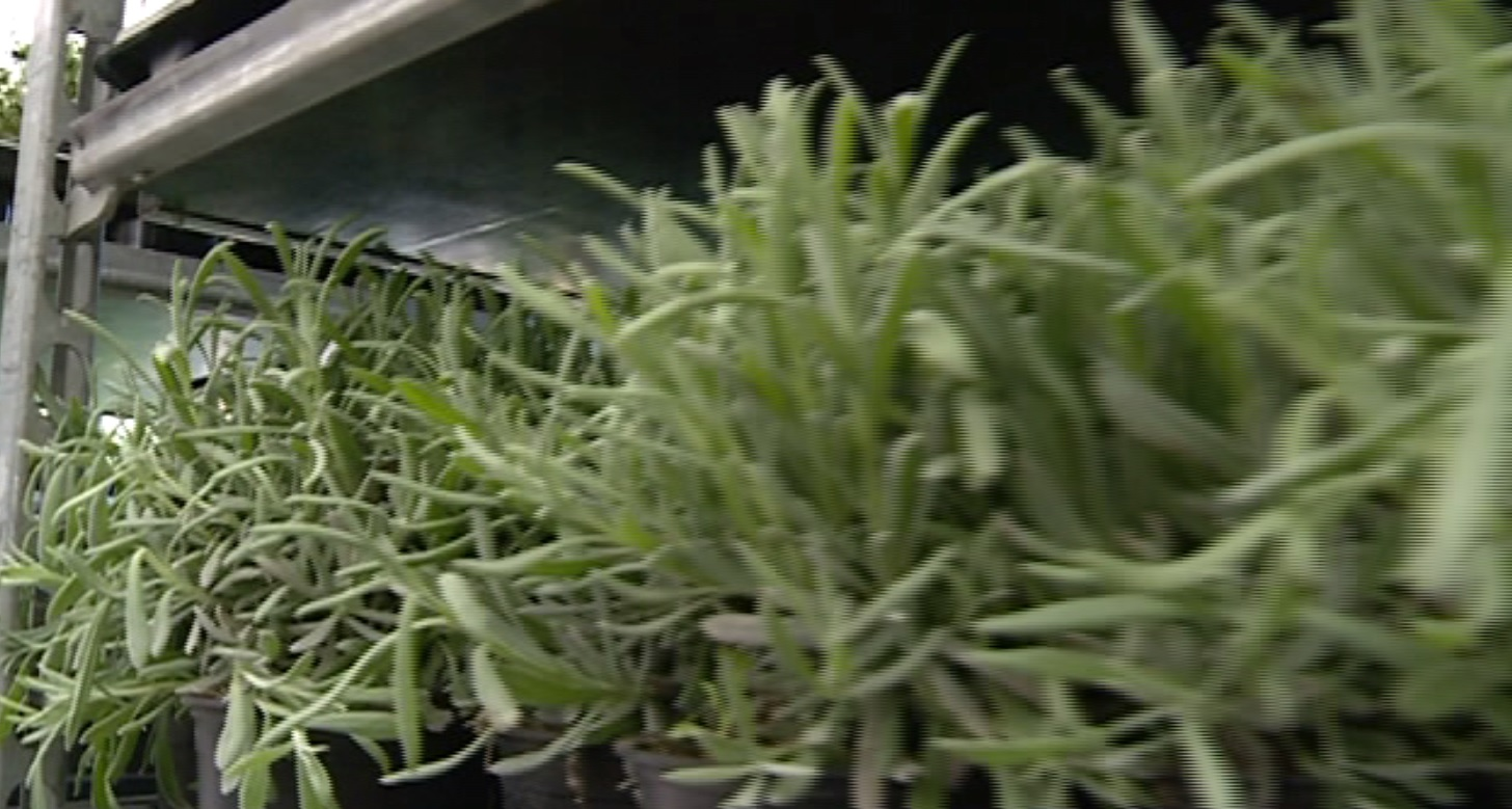 Piante aromatiche, i segreti per coltivarle sul balcone di casa