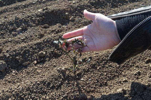 Danneggiate 3 milioni di piantine di pomodoro e 250 ettari di vigneto