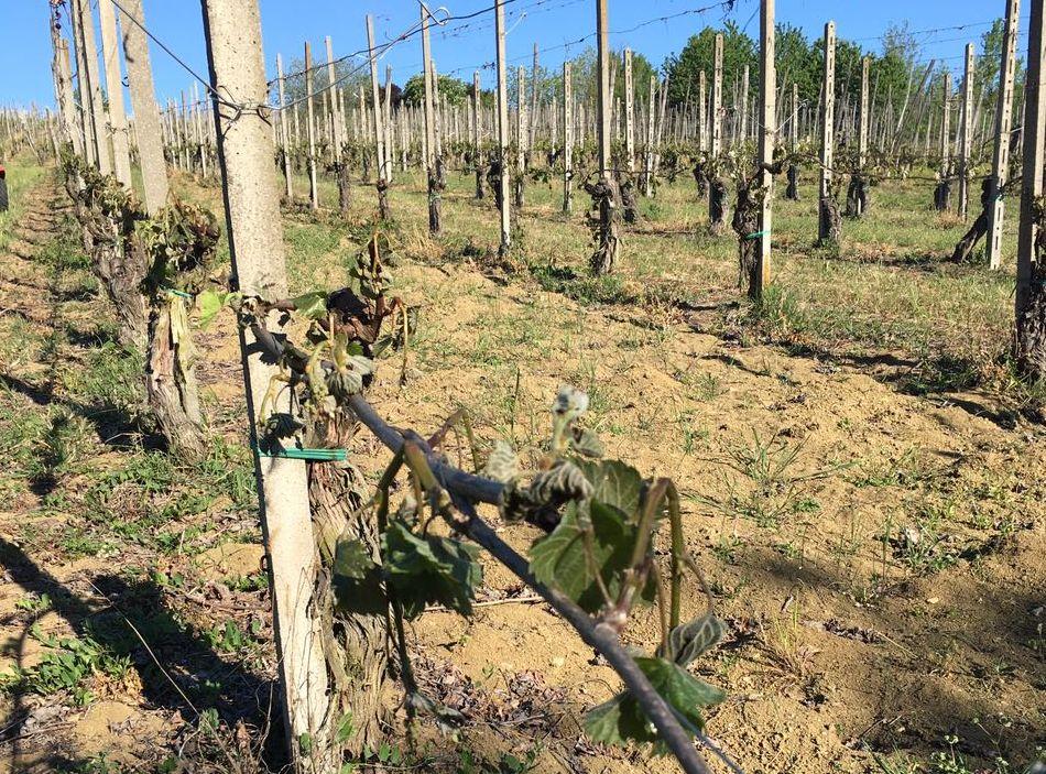 """... , Coldiretti: """"In Emilia Romagna danni per milioni di euro"""