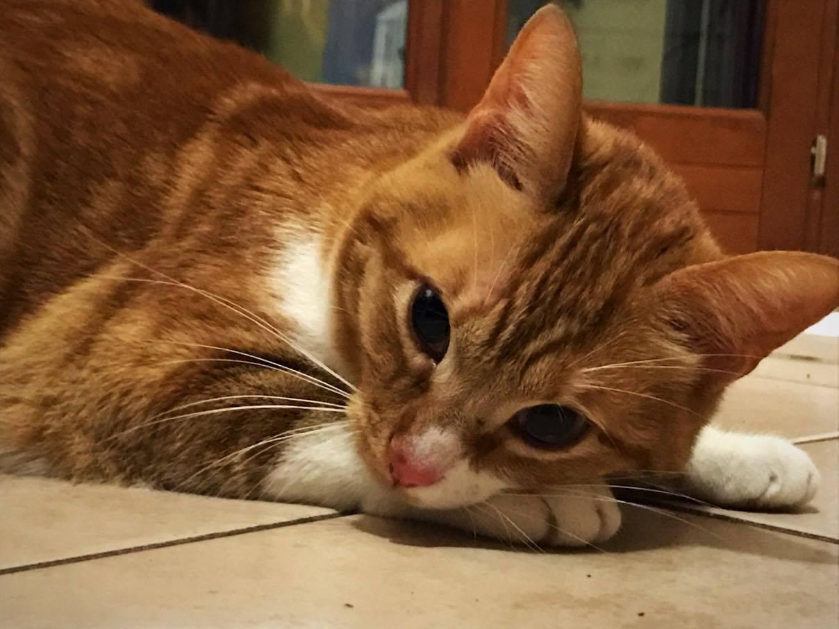La gattina Muh sparisce, tutta Rivergaro scende in campo per le ricerche