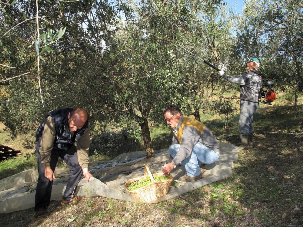 Olio della Val Tidone, annata record: 500 litri da 40 quintali di olive