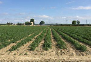 Siccità, chiesta cabina di regia sul pomodoro. Conserve Italia taglia 300 ettari di mais