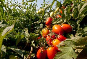 Nella rubrica #ricettainsalute, il re della dieta mediterranea: il pomodoro