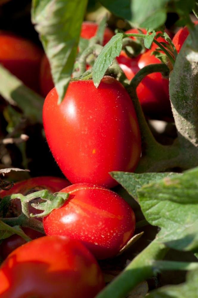Pomodoro da industria: accordo sul prezzo, 79,75 euro a tonnellata