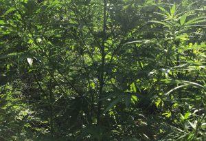 Coltivava marijuana nei boschi di Montechino, 32enne arrestato