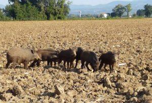 """Campi agricoli e canali tra Gossolengo e Quarto """"invasi"""" da cinghiali FOTO"""