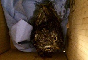Civetta cade in un fusto d'olio motore, salvata da un agricoltore