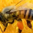 Allergico al veleno dell'ape va in shock anafilattico dopo una puntura: salvato dai soccorritori