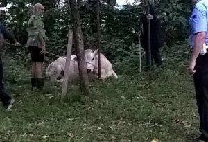 La manza Agostina scappa dalla stalla e crea il panico a Grazzano. VIDEO