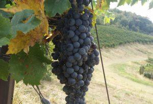 Viticoltura. Nasce il primo vino vegano piacentino certificato