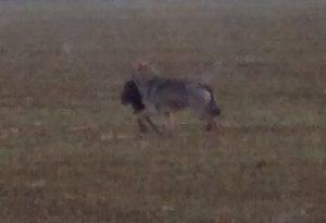 Lupo di Tavernago a caccia: nessuno scampo per la nutria. FOTO