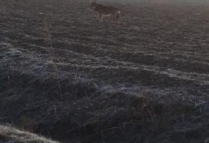 Lupo avvistato da un cacciatore tra Gragnano e Campremoldo Sopra