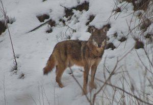 Faccia a faccia con il lupo lungo il Trebbia tra Tuna e Casaliggio