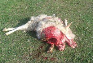 All'alba, raid dei lupi in un allevamento: uccise tredici capre. FOTO